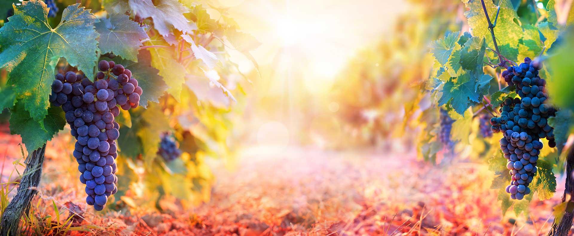 usa rossa del vitigno di crateca ischia